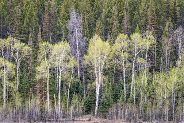 aspen grove and spruce in springtime Stock photo © PixelsAway