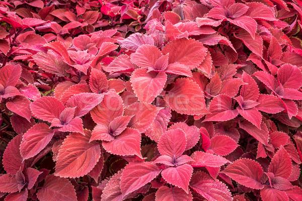 красный лист листва декоративный Сток-фото © PixelsAway