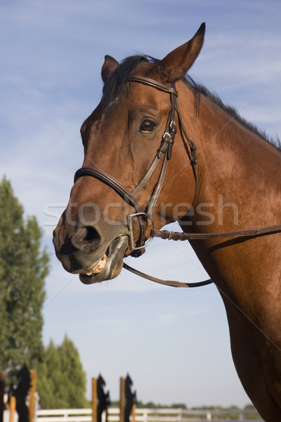 Retrato cavalo saltando arena treinamento Foto stock © PixelsAway