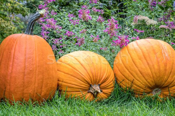 pumpkins in backyard Stock photo © PixelsAway