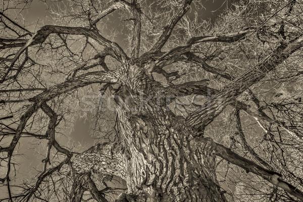 Giant cottonwood tree in winter Stock photo © PixelsAway