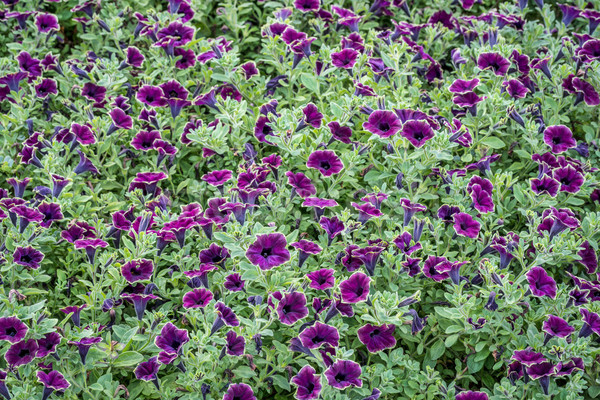 background of burgundy petunia flowers Stock photo © PixelsAway