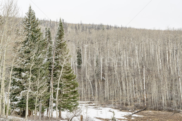 aspen grove iand spruce n winter Stock photo © PixelsAway