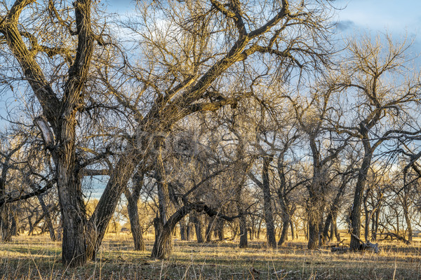 riparian forest in eastern Colorado Stock photo © PixelsAway
