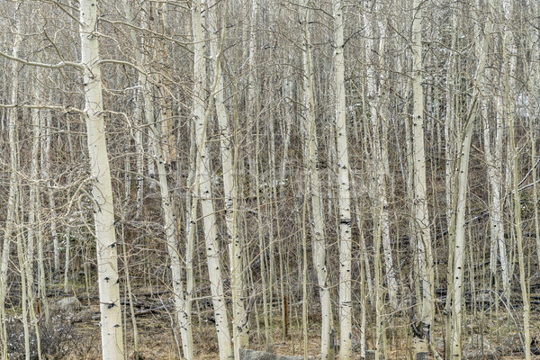 aspen grove in winter Stock photo © PixelsAway