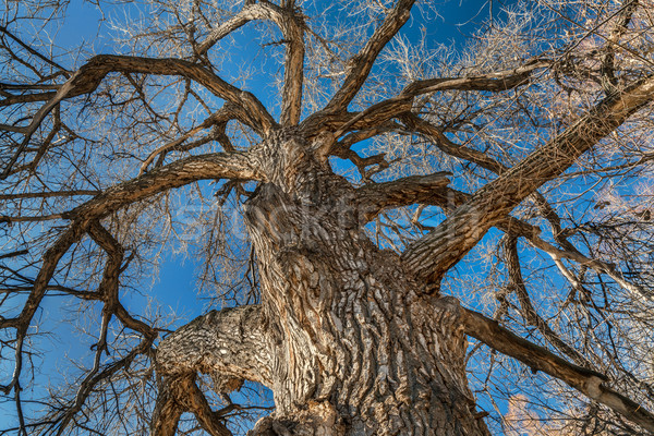 Giant cottonwood tree in winter Stock photo © PixelsAway