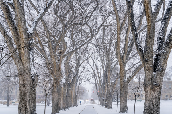 alley of old elm trees at university campus Stock photo © PixelsAway