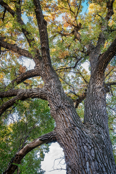 Giant cottonwood tree with fall foliage Stock photo © PixelsAway
