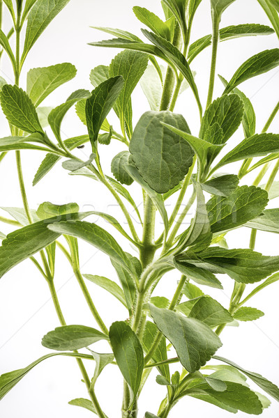 Stevia rebaudiana plant Stock photo © PixelsAway