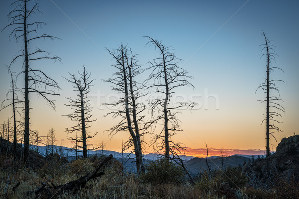 Pine trees burned by wildfire Stock photo © PixelsAway