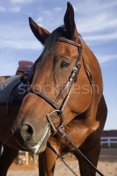 bay horse portrait after jump training Stock photo © PixelsAway