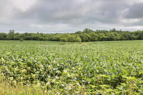 soybean crops in Missouri Stock photo © PixelsAway