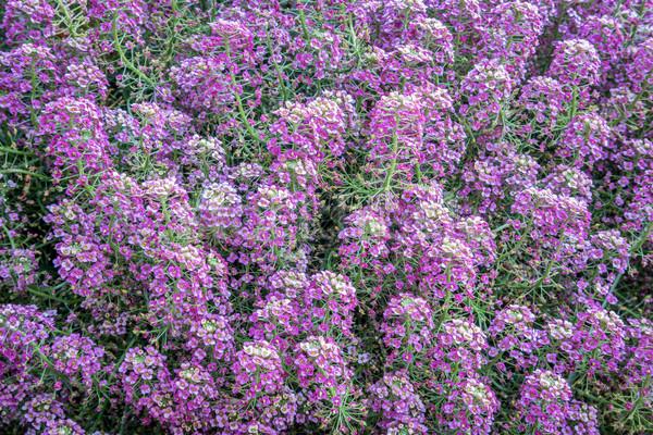 цветения кустарник Purple лаванды цветок Сток-фото © PixelsAway