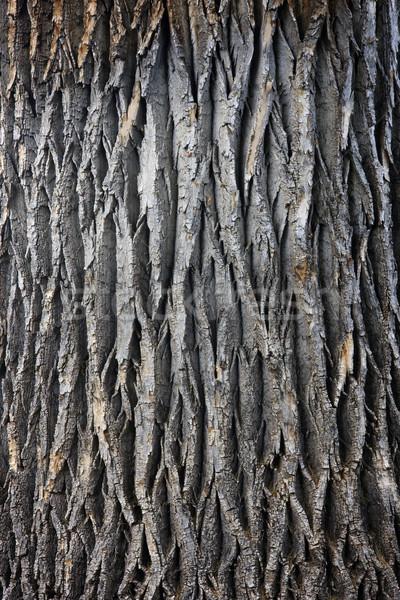Stock photo: giant cottonwood tree trunk