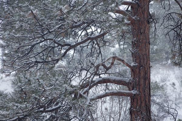 Kiefer fallen Schnee Winter Landschaft Baum Stock foto © PixelsAway