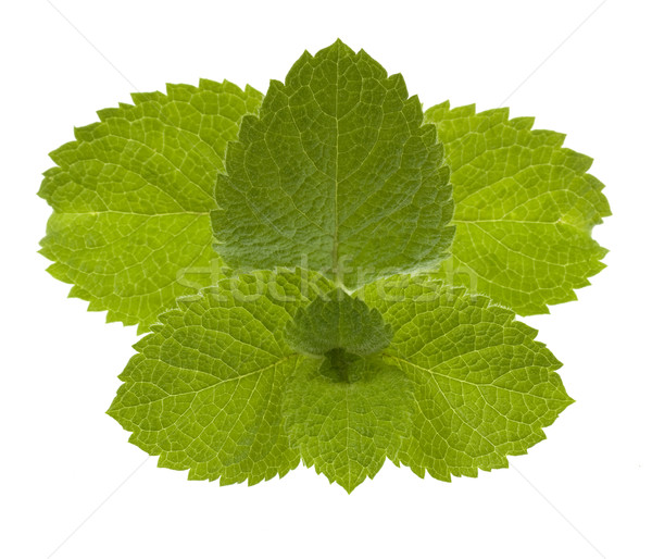 Fresco de folhas isolado branco simétrico Foto stock © PixelsAway