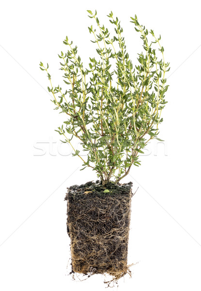 new French thyme plant with roots Stock photo © PixelsAway