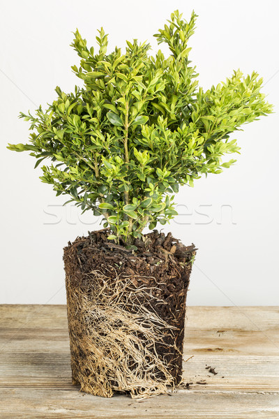 boxwood plant Stock photo © PixelsAway