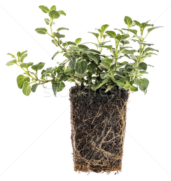 new oregano plant with roots Stock photo © PixelsAway