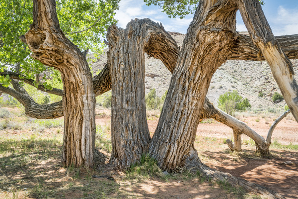 old twisted cottonwood tree in a desert canyon Stock photo © PixelsAway