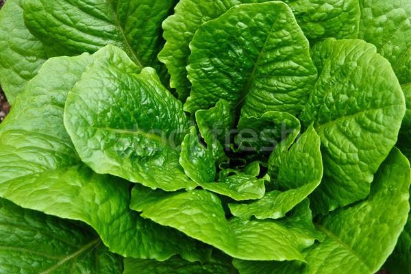 Zöld fej saláta kert Stock fotó © pixelsnap