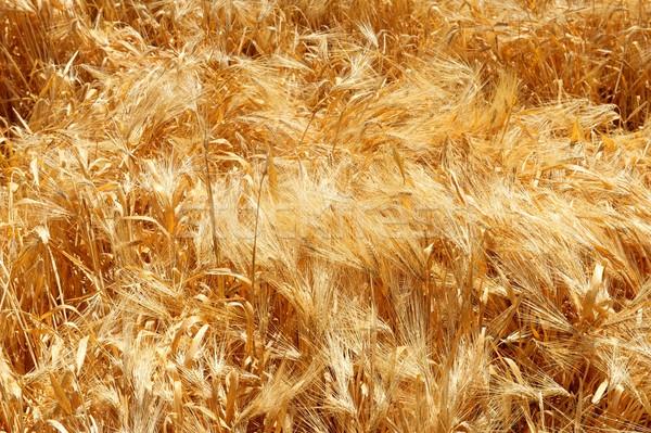 Grano shot grano oro nessuno orizzontale Foto d'archivio © pixelsnap