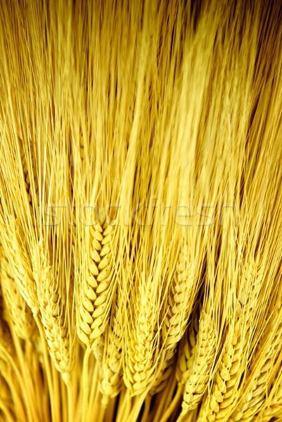 Stalks of Golden Wheat Stock photo © pixelsnap