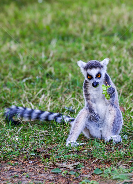 The lemurs (ring-tailed lemur) eating leaf Stock photo © pixinoo