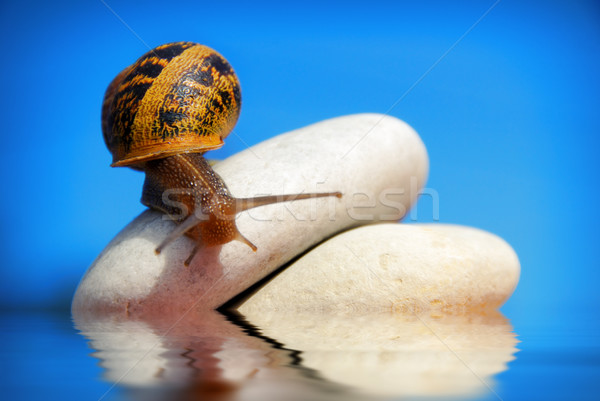 snail on a pile of pebbles Stock photo © pixinoo