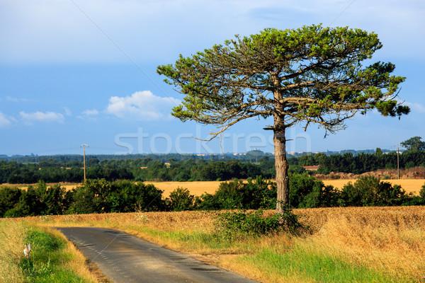 Izolált hatalmas fenyőfa középső mező fűmező Stock fotó © pixinoo