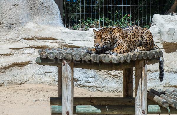 Huge leopard in a cage sleeping Stock photo © pixinoo