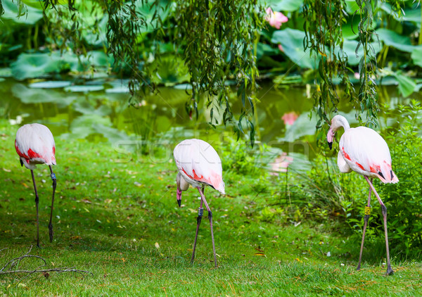 The three beautiful pink flamingo Stock photo © pixinoo