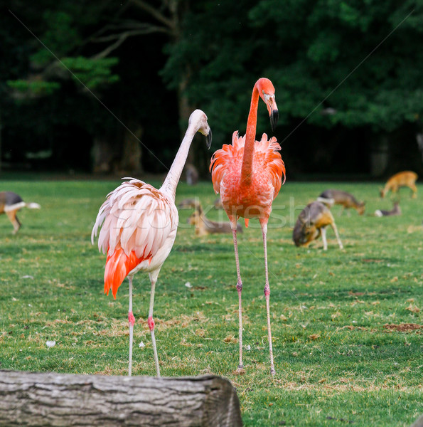 beautiful pink flamingos with wild animals in background Stock photo © pixinoo
