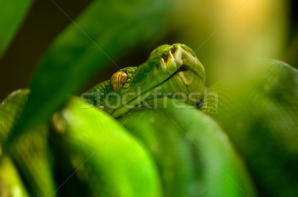 Python arbre vert tropicales agressif regarder Photo stock © pixpack