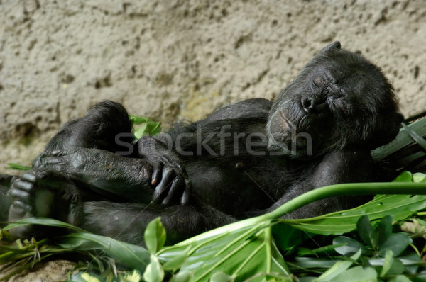 Sleeping chimpanzee Stock photo © pixpack