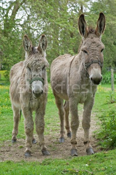 Two donkeys Stock photo © pixpack