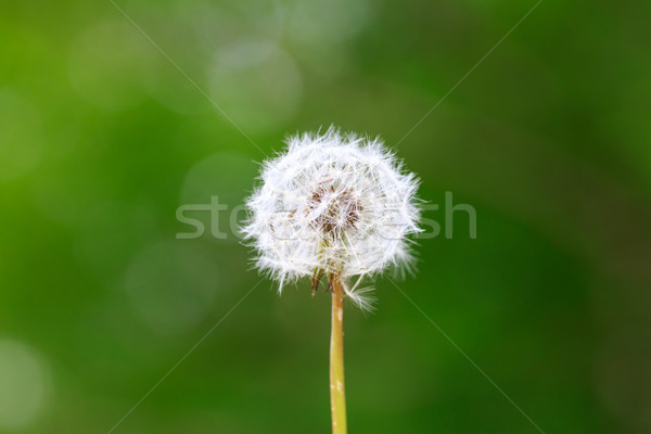 Dandelion Stock photo © pngstudio