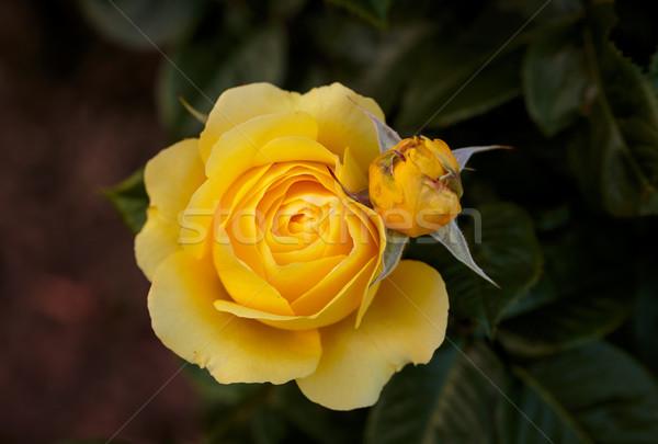 Parfumé rose plein fleurir Washington parc Photo stock © pngstudio