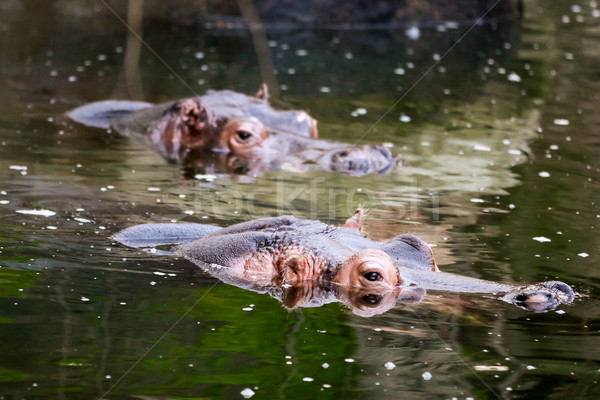 HIppos in water Stock photo © pngstudio