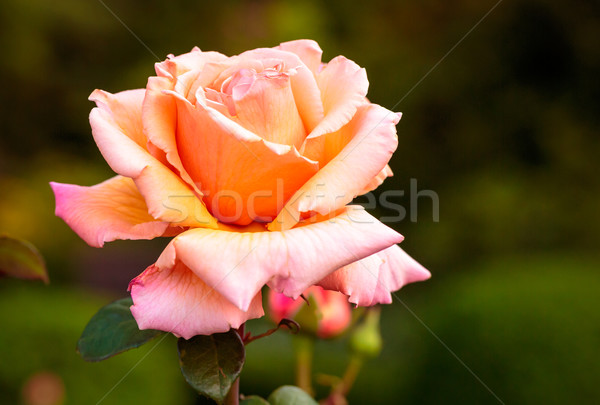 Fragrant Rose in Full Bloom Stock photo © pngstudio