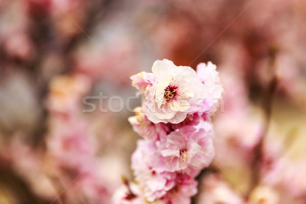 Erik çiçek çiçek Pekin bahçe Stok fotoğraf © pngstudio