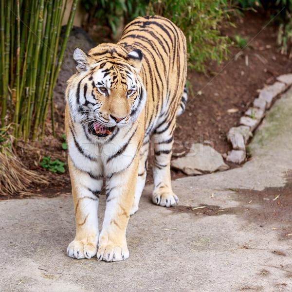 Tigre retrato praça ao ar livre close-up Foto stock © pngstudio