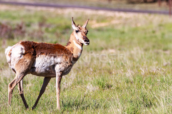 Mule deer in Bryce Canyon Stock photo © pngstudio