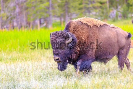 Amerikan bizon yetişkin park hayvan açık havada Stok fotoğraf © pngstudio