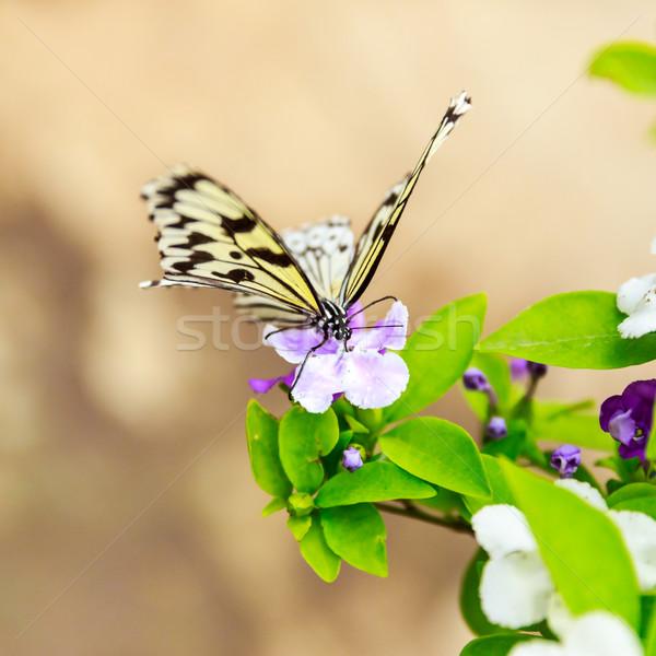 Kelebek çiçek Pekin bahçe Stok fotoğraf © pngstudio