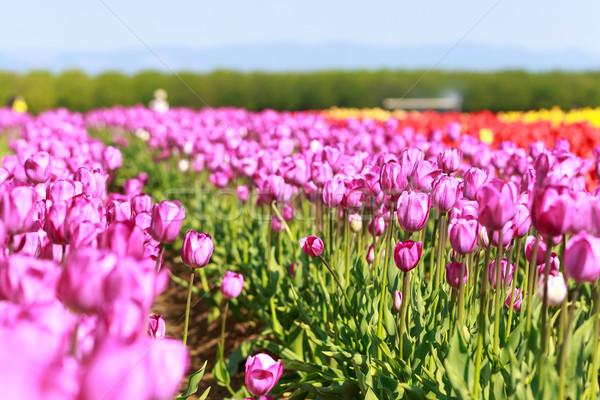 Güzel lale renkli bahçe bahar yaprak Stok fotoğraf © pngstudio