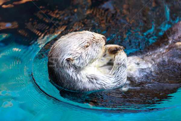 Sea Otter (Enhydra Lutris) Stock photo © pngstudio