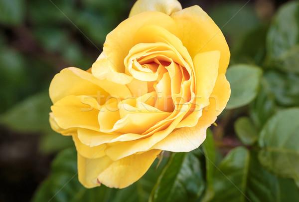 香ばしい バラ フル 咲く ワシントン 公園 ストックフォト © pngstudio