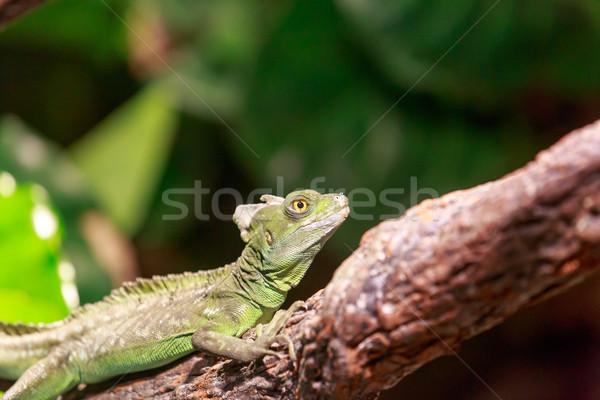 Iguana ağaç vücut yeşil hayvan Stok fotoğraf © pngstudio