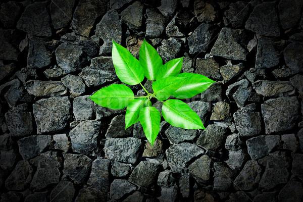 Küçük bitki büyüyen taş kaldırım bahar Stok fotoğraf © podsolnukh
